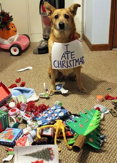 Hund zerkaut Geschenke