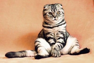 gatto-tigrato-seduto