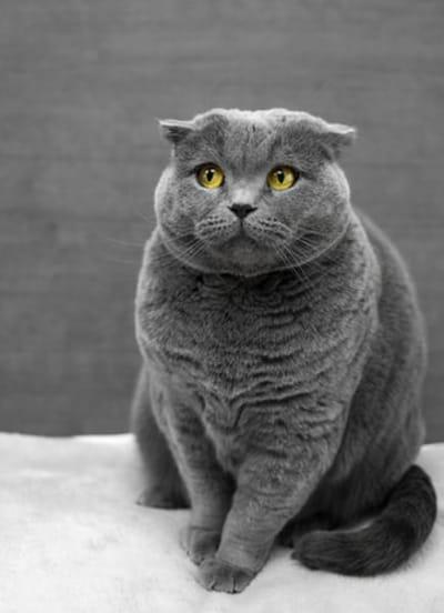 gatto-grigio-in-sovrappeso