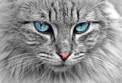 gatto-grigio-a-pelo-lungo-con-occhi-azzurri