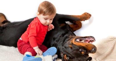 rottweiler adoptar raza peligrosa