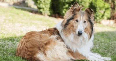 perro de lassie