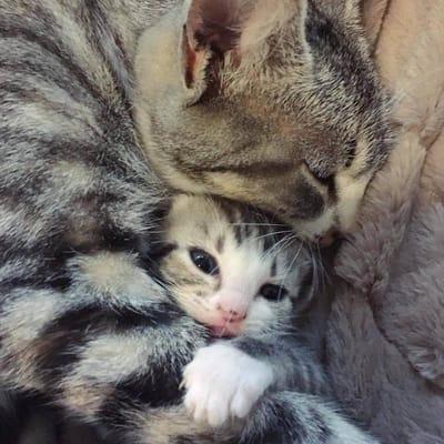 mamá gato
