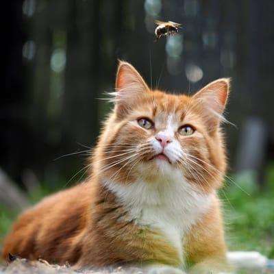 gato observando abeja.jpg