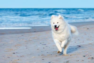 cane-samoiedo-corre-in-spiaggia