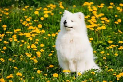cane-samoiedo-dall-aria-fiera-in-mezzo-ad-un-prato-fiorito