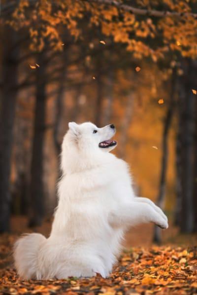 cane-samoiedo-di-profilo-in-piedi-in-autunno