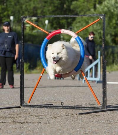cane-samoiedo-durante-l-agility-dog
