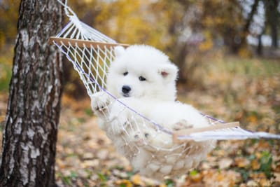 cucciolo-di-samoiedo-riposa-su-una-mini-amaca