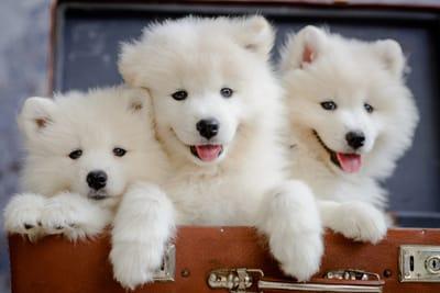 tre-cuccioli-di-samoiedo
