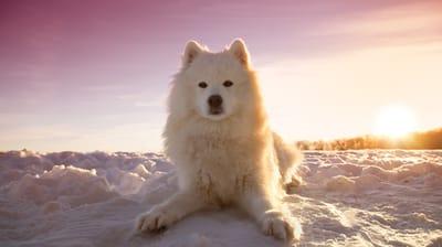cane-samoiedo-nella-neve-al-tramonto
