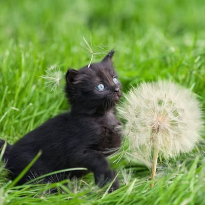 gato negro diente de leon