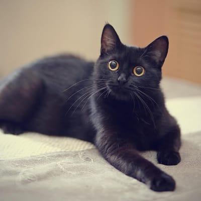 gato negro sillon