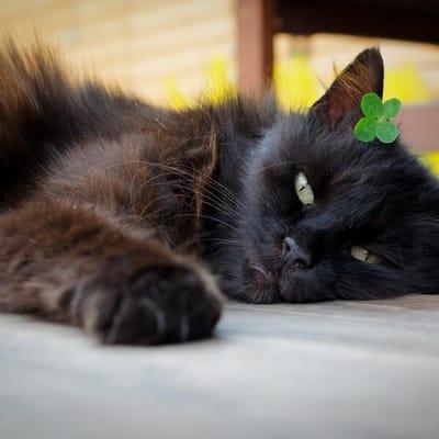 gato negro trebol
