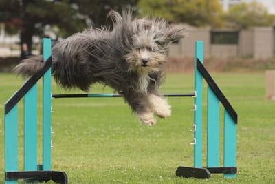 bearded-collie-durante-gara-di-agility