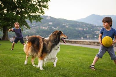 cane-da-pastore-scozzese-a-pelo-lungo