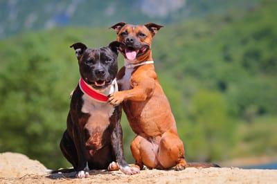due-stafforshire-bull-terrier-abbracciati