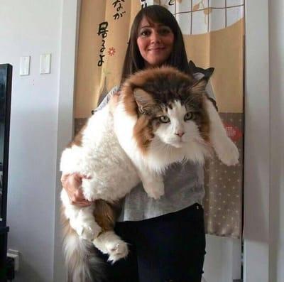 Maine coon i inne koty, które nie mają pojęcia, że są... duże