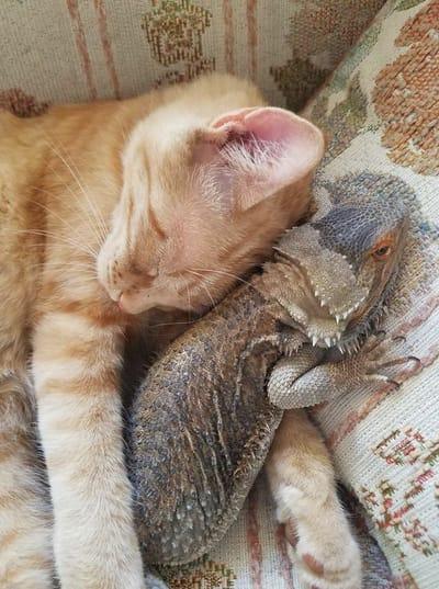 kot śpi z jaszczurka