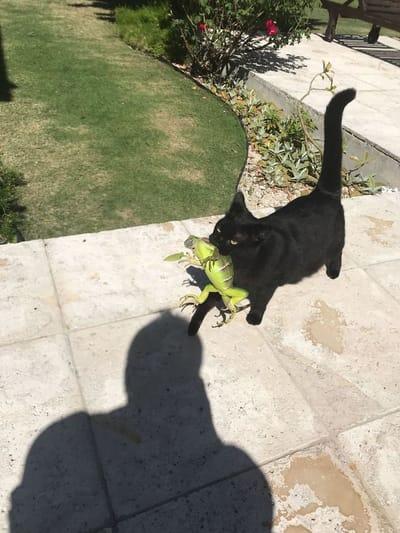 kot niesie jaszczurkę