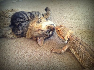 buziak jaszczurki