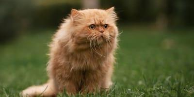 gatto persiano sull erba