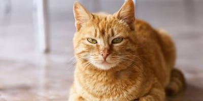gatto rosso con occhi socchiusi