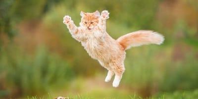 gatto rosso salta