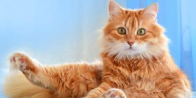 gatto rosso su sfondo blu