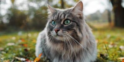 gatto-siberiano-con-occhi-verdi