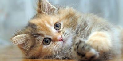gattino-disteso