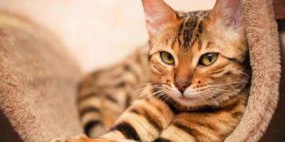 gatto-del-bengala-con-sguardo-sicuro
