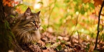 gatto-siberiano-nella-foresta