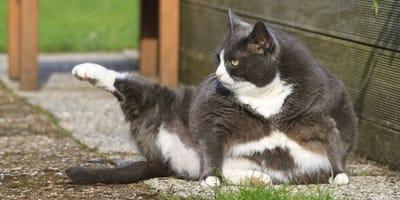 gatto obeso in giardino