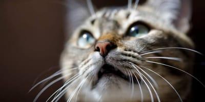 gatto con vibrisse in primo piano