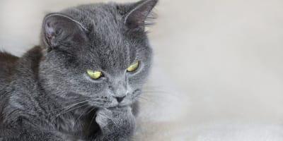 gatto grigio pensa con zampa sul mento