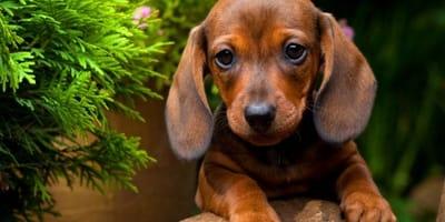 bassotto-cucciolo-carino