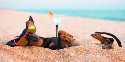 bassotto-sdraiato-in-spiaggia-con-finto-cocktail-e-occhiali-da-sole