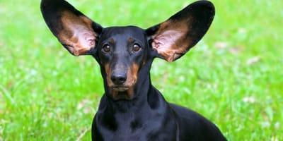 bassotto-nero-con-orecchie-grandi