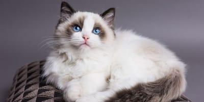 gatto-ragdoll-elegante