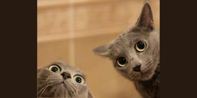 due-gatti-grigi-imprevedibili-tramandano-qualcosa