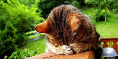 gatto-maldestro-si-nasconde-dopo-aver-combinato-qualcosa