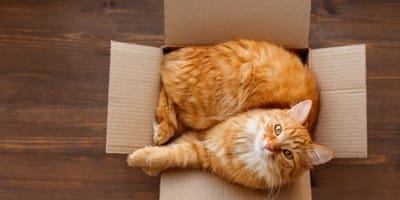 gatto-rosso-dentro-una-scatola-di-cartone