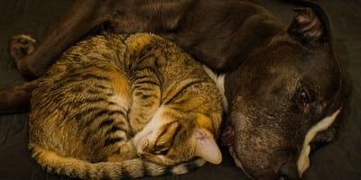 gatto-soriano-dorme-con-un-pitbull