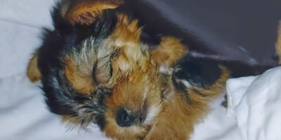 2-charlie-cane-yorkshire-cucciolo.jpg