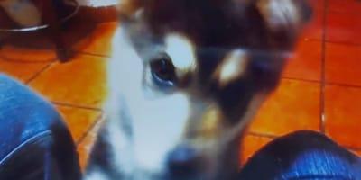 5-sirya-cagnolina-husky-malamute-cucciolo.jpg