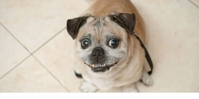 cagnolino-marrone-seduto-con-grandi-occhi-a-palla.jpg