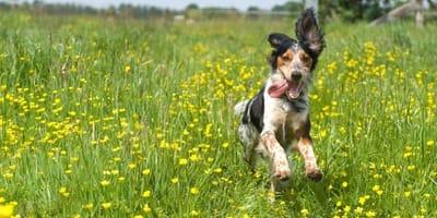 cane-felice-corre-in-un-prato-di-fiori-gialli.jpg