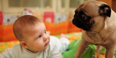 cane-carlino-beige-guarda-intensamente-un-bambino-piccolo.jpg
