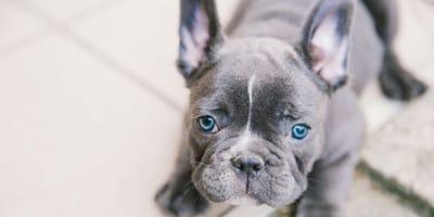 cane-bulldog-francese-grigio-affettuoso